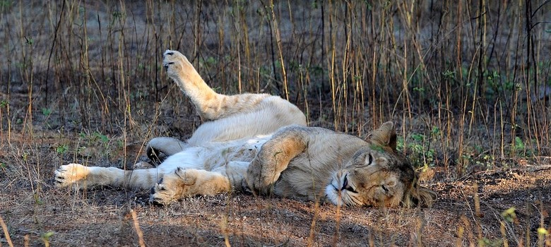 310 lions died in Gujarat in last five years