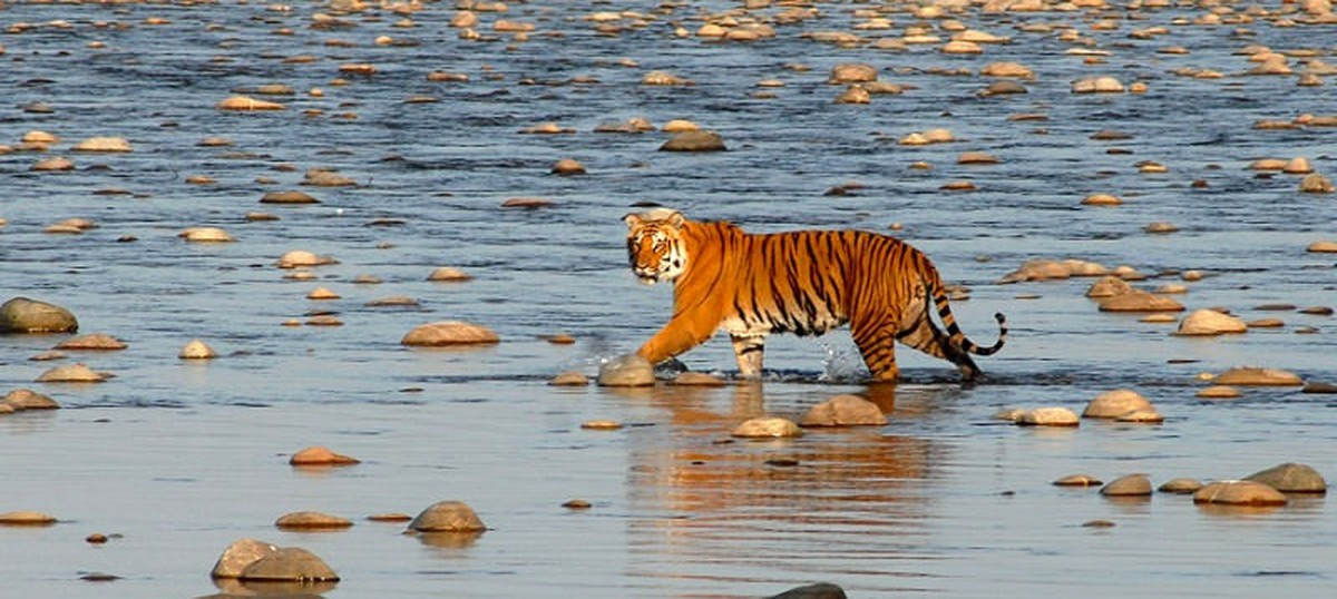 Tiger population is rising and we can double it by 2022, says study