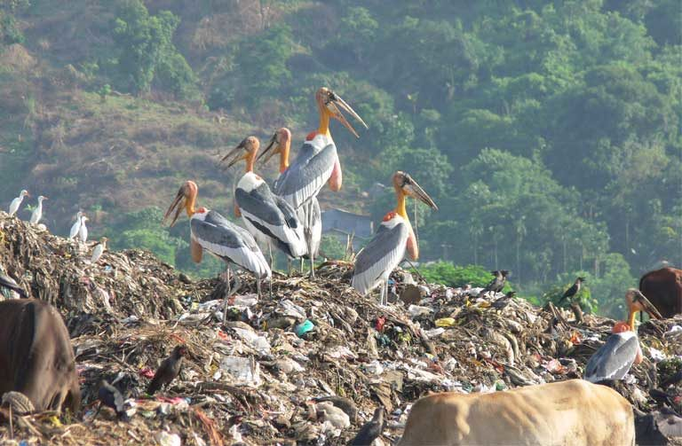 A Greater Adjutant stork gathering in Assam, India. Image Credit: Rathin Barman