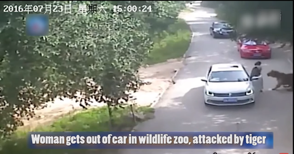 Watch: Grisly footage of a tiger dragging a woman away from a car in a Chinese wildlife park