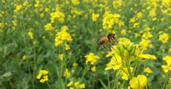 Other environmental concerns apart, GM mustard could also send bees buzzing away