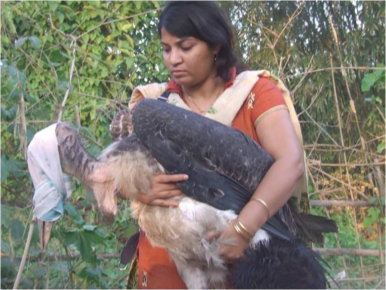 Purnima Barman rescuing a Greater Adjutant juvenile that has fallen out of its nest – something the birds unfortunately often do. Image Credit: Aaranyak