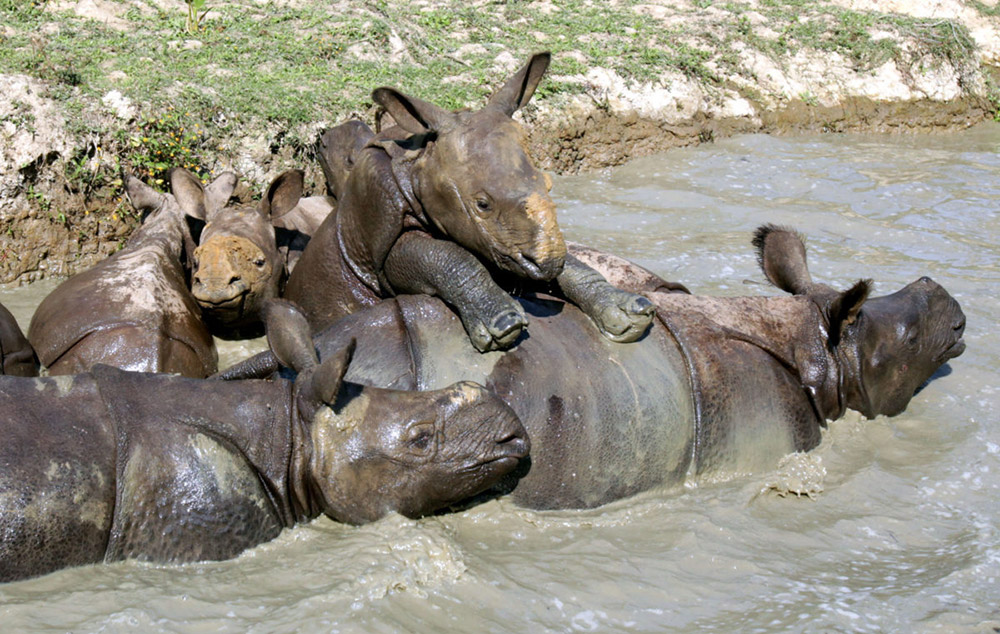 Rhinos playing in water body in the CWRC paddocks on Monday,9th January 2017. Photo:Subhamoy Bhattacharjee/IFAW-WTI