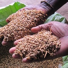In the Sundarbans, rice grains from the past are helping face weather storms of the future