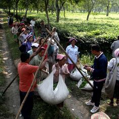 Workers in 300 tea estates in North Bengal haven't been paid in a month – but they are fine with it