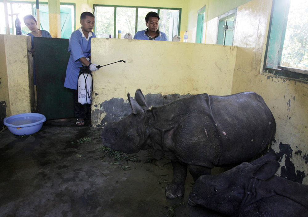 CWRC vets, volunteers and animal keepers during routine treatment of rhino calves at the large animal nursery of the AFD & IFAW-WTI's jointly-run wildlife care facility in 2016. Photo credit: Subhamoy Bhattacharjee / IFAW-WTI.