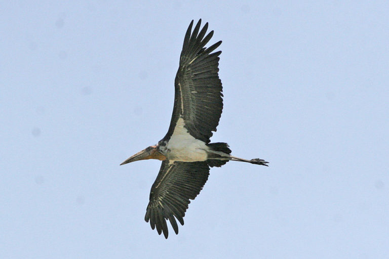 A Greater Adjutant stork in flight. Inspiring conservation efforts in India and Cambodia are giving this species a fighting chance against extinction. Image Credit: Ron Knight licensed under the Creative Commons Attribution 2.0 Generic license