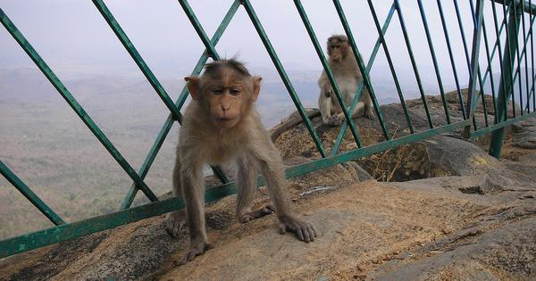 How clashes between farmers and monkeys in north India are rising, with no solution in sight