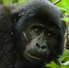 Chimps and gorillas desperately need an Ebola vaccine too