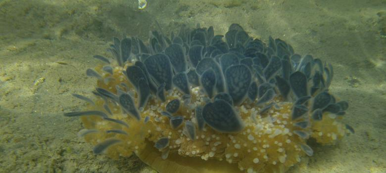 Upside-down jellyfish found in Gujarat might be first sighting of the rare species in Indian lake
