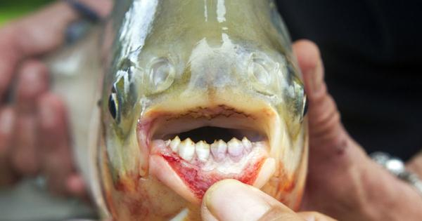 Podcast: How did the pacu – the fish with human-like teeth – invade rivers in Andhra Pradesh?
