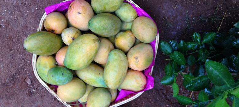 The fruit that sent Mirza Ghalib into raptures