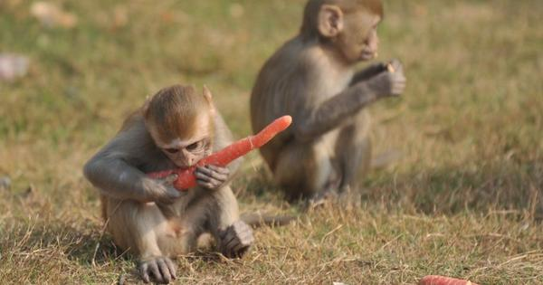 Why the Indian Parliament's monkey problem has no easy solution