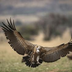 Vultures in crisis: poachers and poison threaten nature's garbage disposers