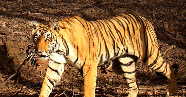What to do if you came face-to-face with a tiger