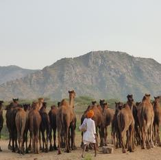 Why Rajasthan's ban on camel slaughter may actually end up reducing their numbers