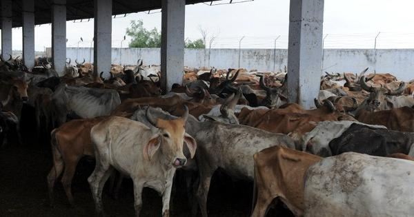 Maharashtra's beef ban shows how politicians manipulate Hindu sentiments around cow slaughter