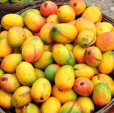 EU bans pest-ridden Indian mangoes. So are they safe for Indians to eat?