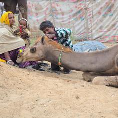 A nomadic tribe in Rajasthan has researchers asking: can camel milk control diabetes?