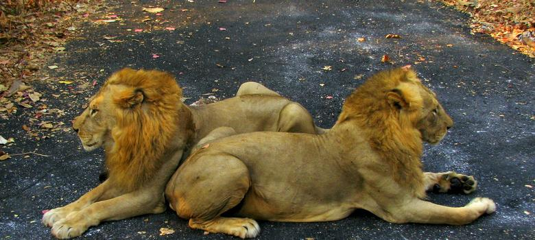 Don't worry, Gir lions will survive the Gujarat floods, say wildlife conservationists