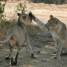 गुजरात : गिर के शेरों का टीकाकरण शुरू