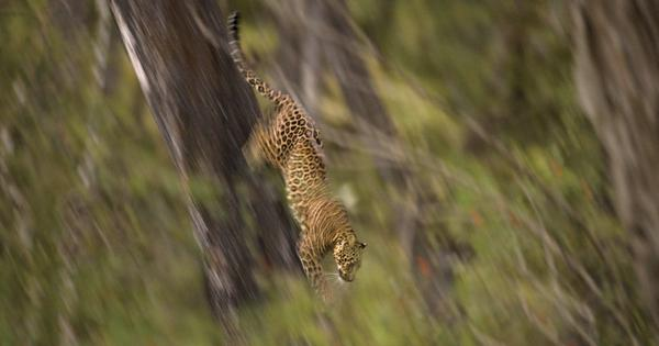 Leaping leopard: How a doctor's patience won him a wildlife photography award