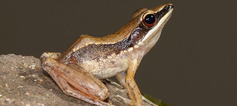 Six new species of golden-backed frogs identified in the Western Ghats