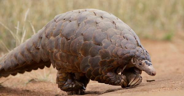 India moves international convention seeking higher protection for endangered pangolin species