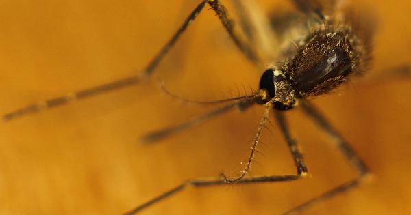 In Maharashtra, a high security prison for genetically modified mosquitoes