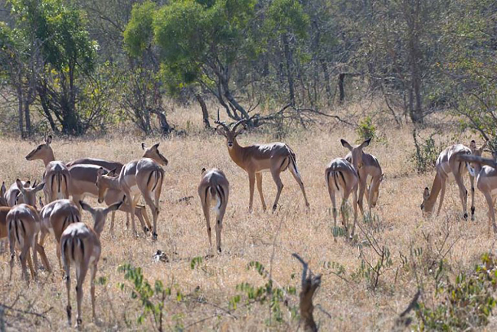 Impala gather on the savanna inside Kruger. Photo credit: Justin Catanoso for Mongabay