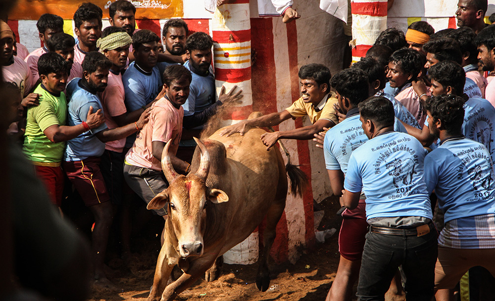 A bull succeeds in running past the players at Alanganallur. In the game of jallikattu, a bull is released from into a playing arena, and the player is supposed to hold onto its hump for a predetermined distance to win the game. If the bull manages to run past all the players, the bull wins and its owner get the prize.
