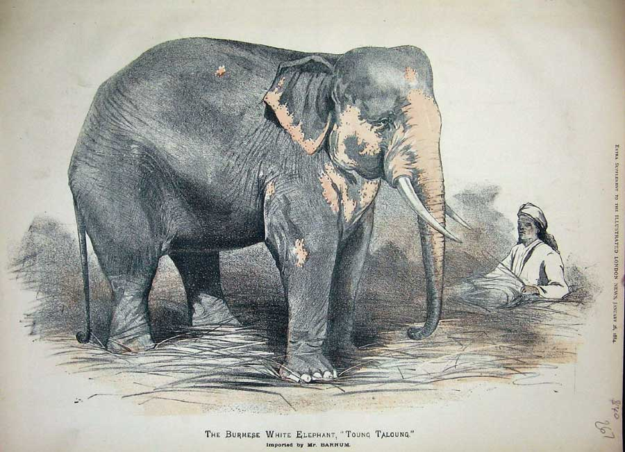 PT Barnum's white elephant Toung Taloung, featured in an extra supplement to the Illustrated London News, January 26, 1884. Photo credit: Wikimedia Commons [Licensed under CC-PD-Mark]