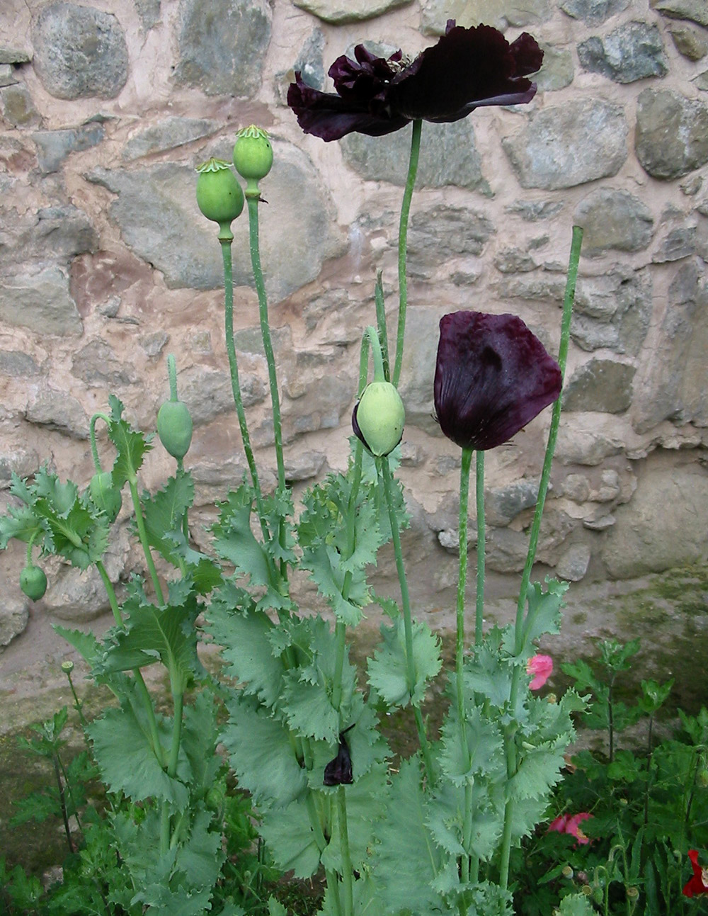 Black poppies at Pari Mahal. Image credit: Anuradha Chaturvedi