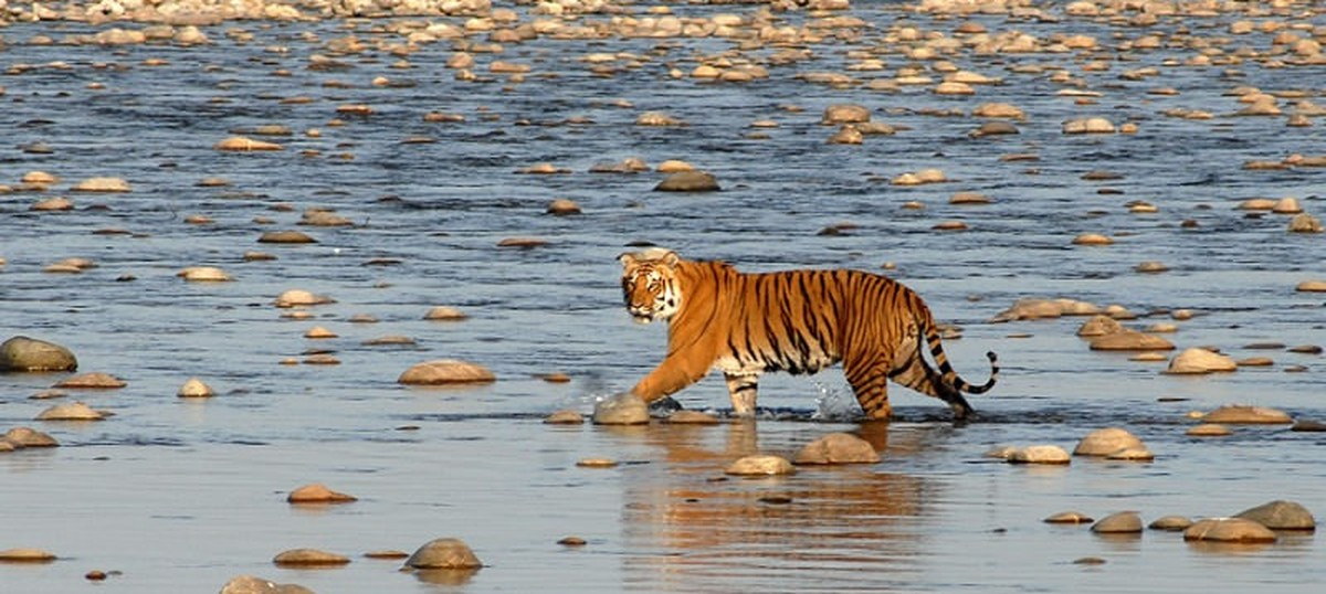 Why do the tigers of Sundarbans eat humans when tigers around the world seldom do?
