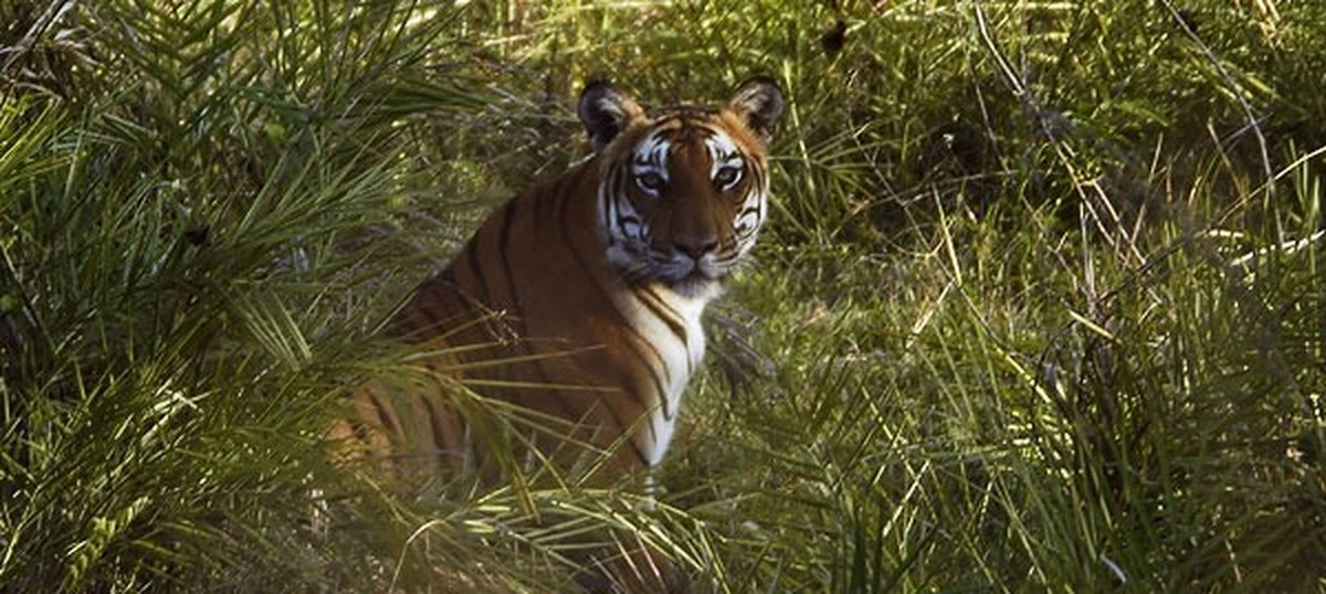 In Tamil Nadu, the Forest Department is being forced to kill tigers