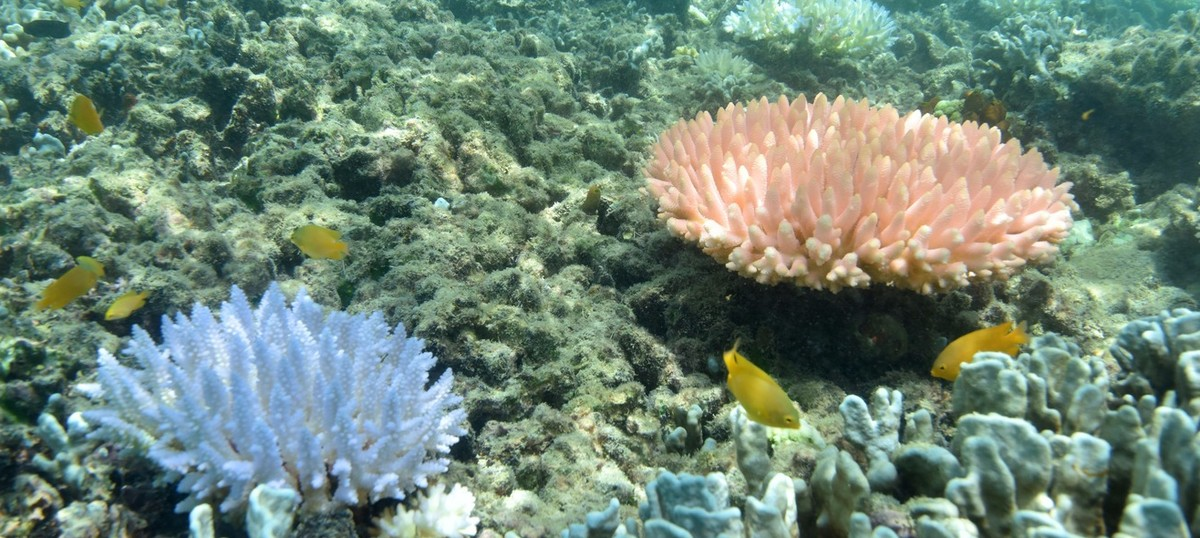 In pictures: A close-up look at the Great Barrier Reef's bleaching