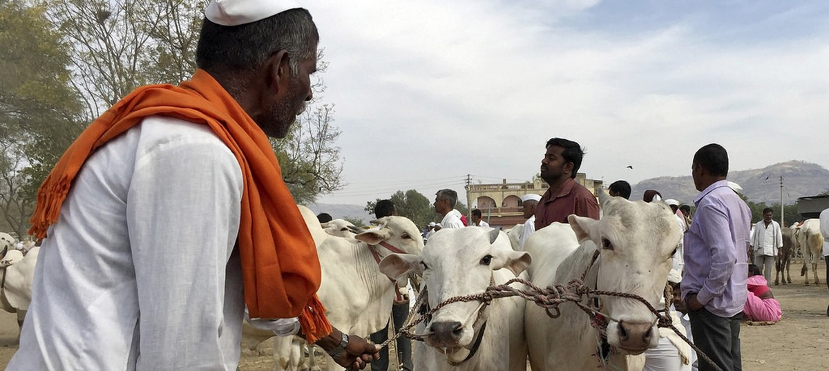 Beef ban: In Marathwada, everyone wants to sell cattle ‒ but nobody can buy