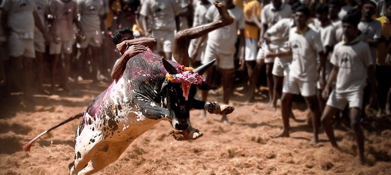 By allowing jallikattu, Executive has clearly undermined the Judiciary: legal experts