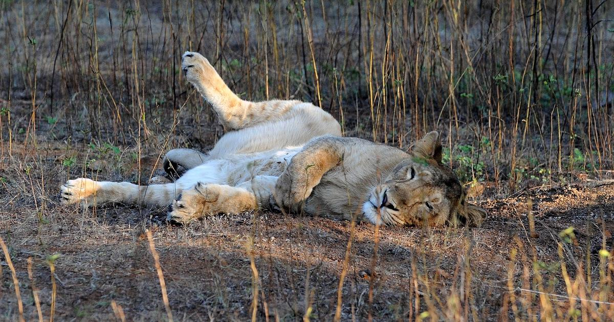 One arrested after video of four men chasing lions through Gir sanctuary goes viral