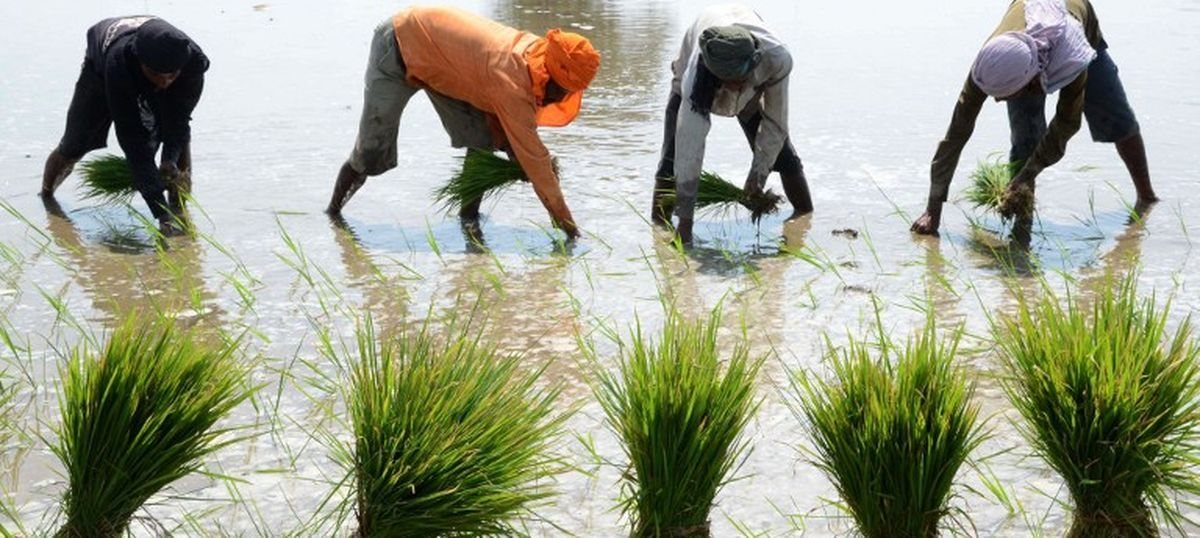 Punjab is set for record rice production this year, but at a heavy price