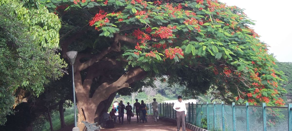 The dying of gulmohars heralds Bangalore's demise – and is a sign of urban India's forbidding future