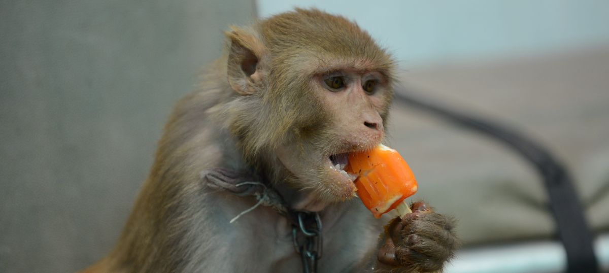 Using monkeys for research is justified – it gives us treatments that would otherwise be impossible