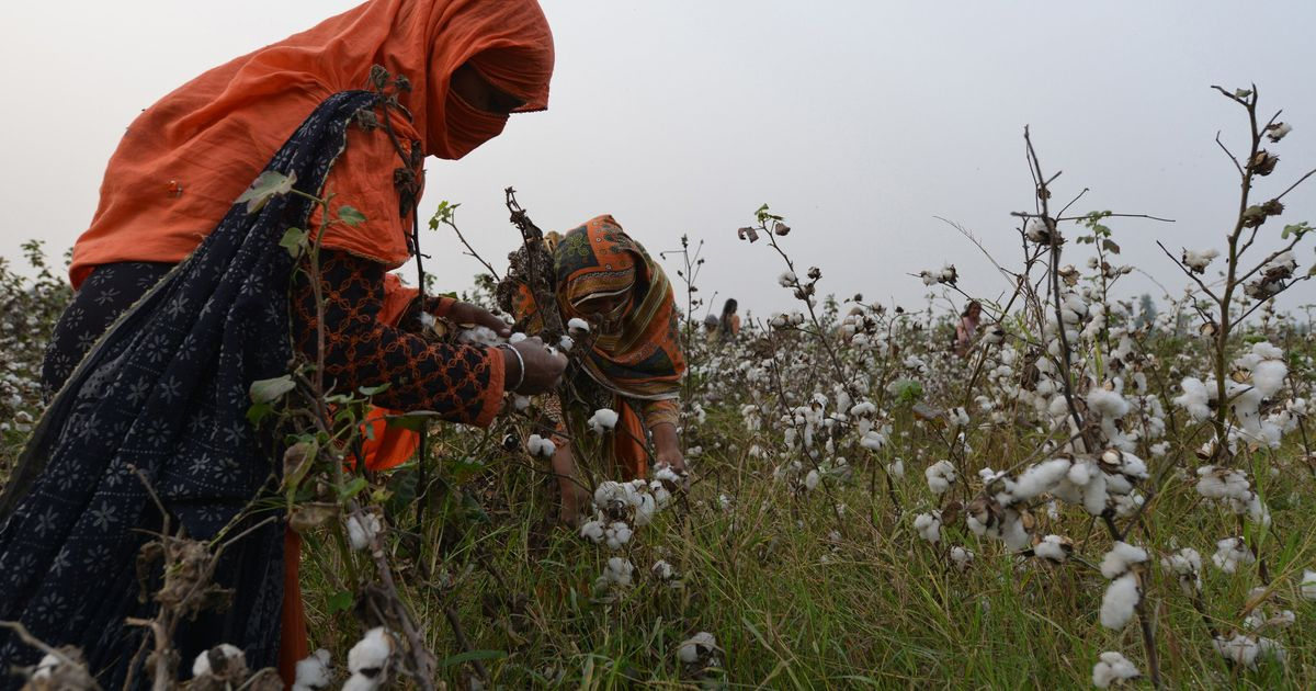 In Pakistan's cotton fields, lack of protective gear and lax laws are making women pickers sick