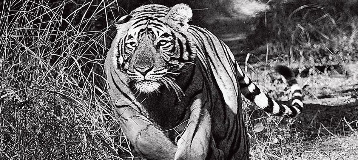Book review: Prerna Singh Bindra's 'The Vanishing' is a dire warning about India's wildlife