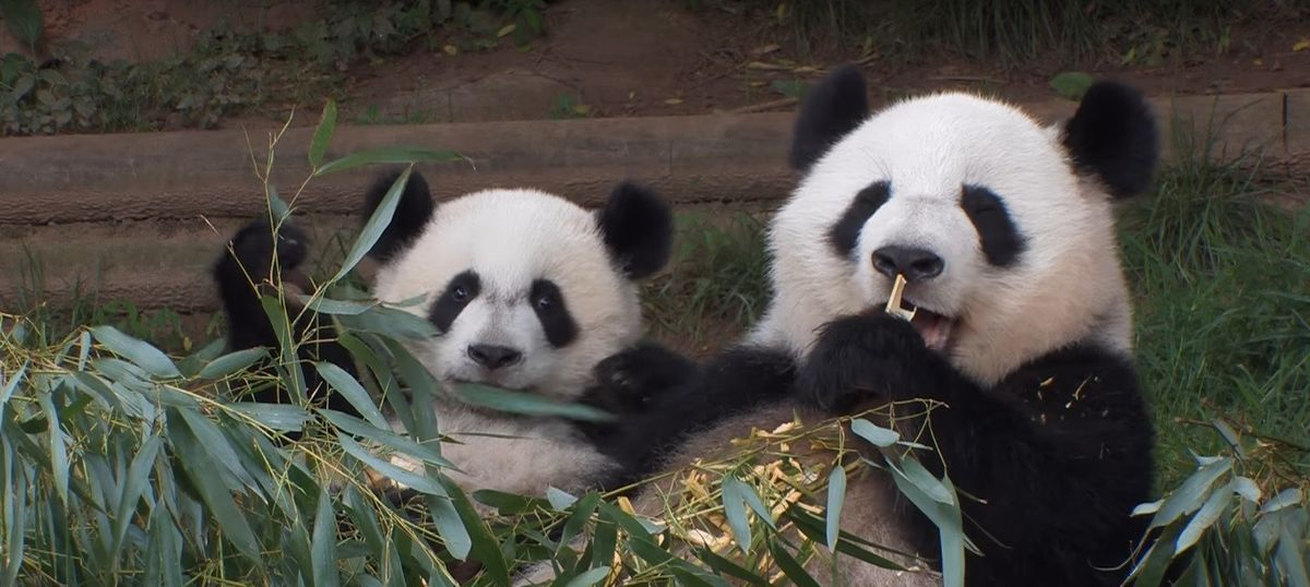 US-born panda twins in China want only American biscuits and English conversations