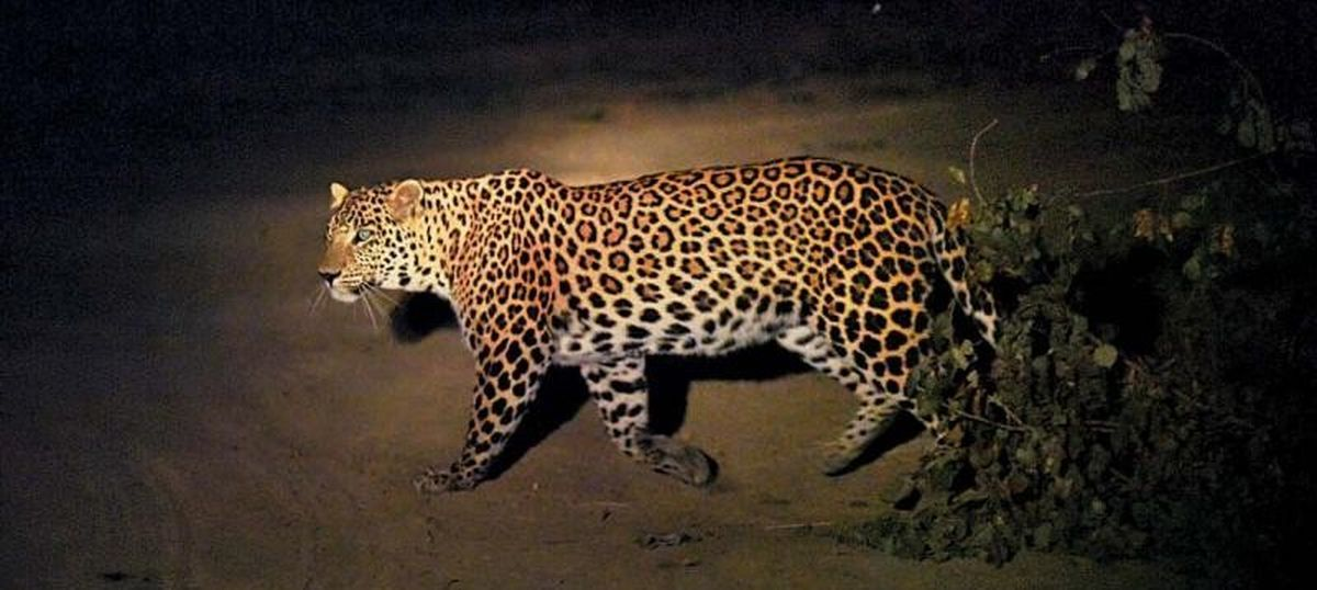 Animals In The City What The Sighting Of A Leopard In Delhi Really
