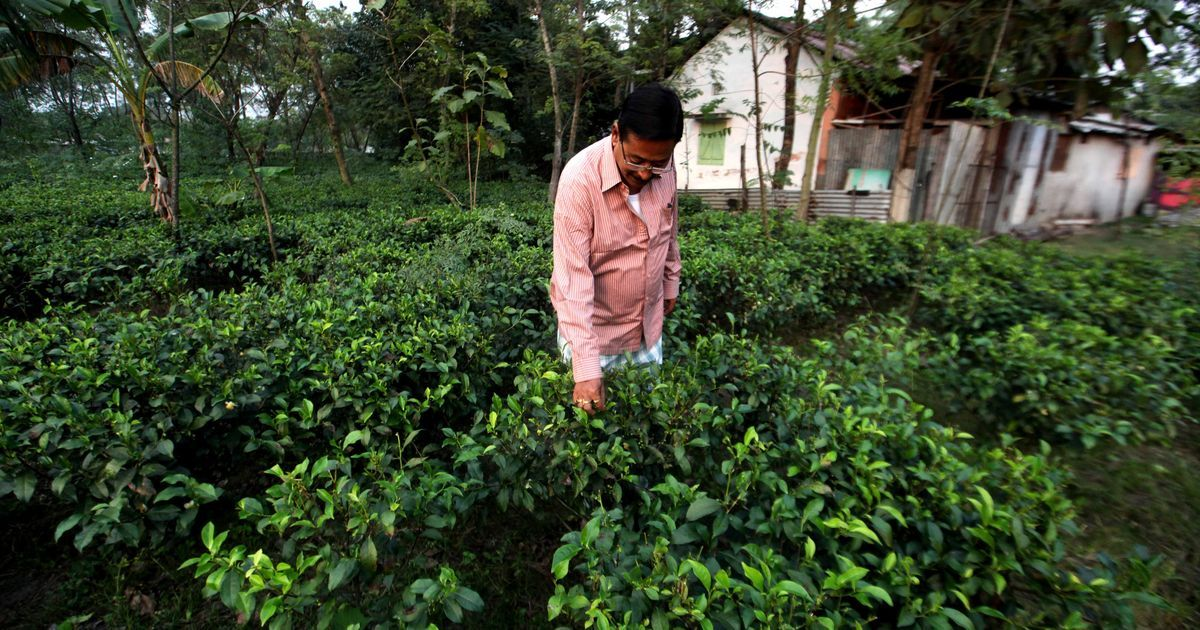 In North Bengal, tea estates now come in the size of kitchen gardens