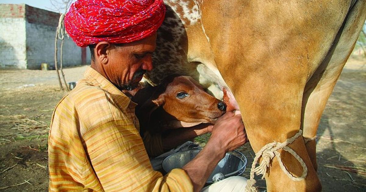 In Gujarat, dairy farmers from milk cooperatives have not been paid in 50 days