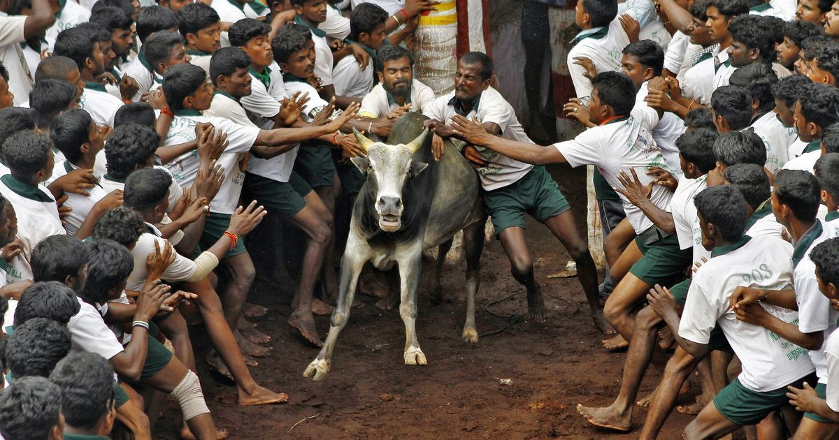 Jallikattu is illegal, passing an ordinance to allow it would be unconstitutional: Animal activists