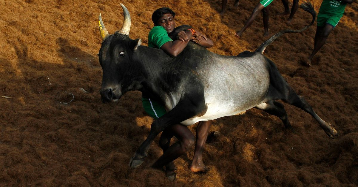 Jallikattu debate: There are good reasons to criticise the sport but animal cruelty is the flimsiest